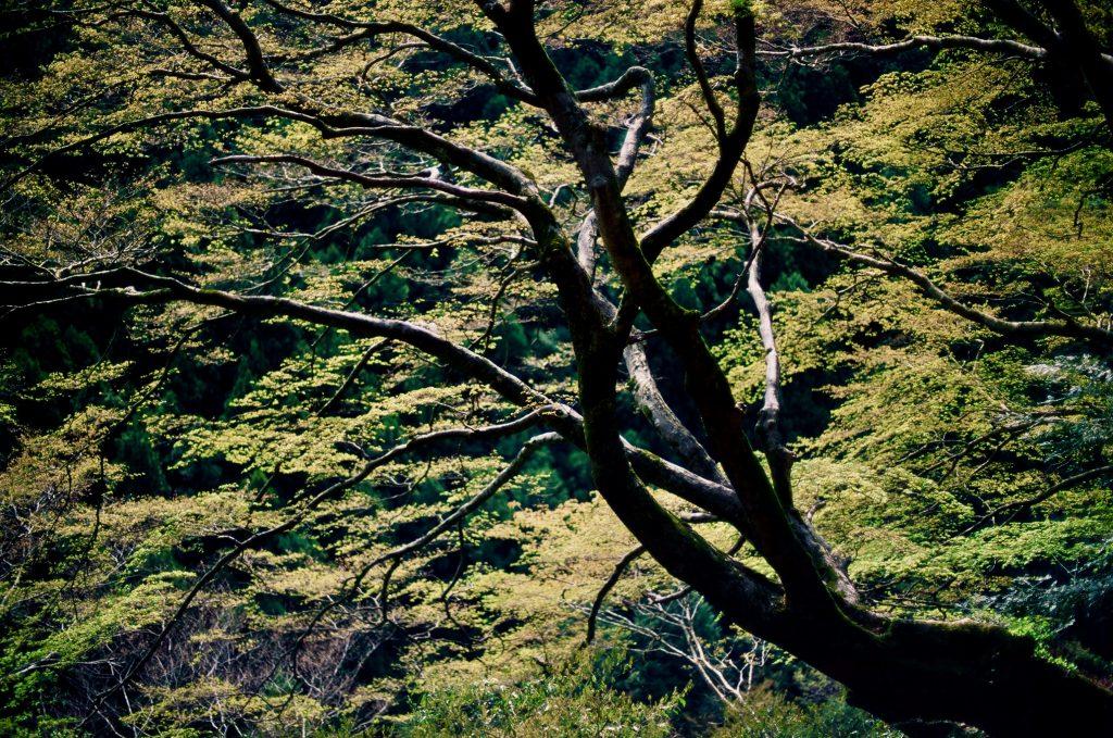 いろは楓の巨樹