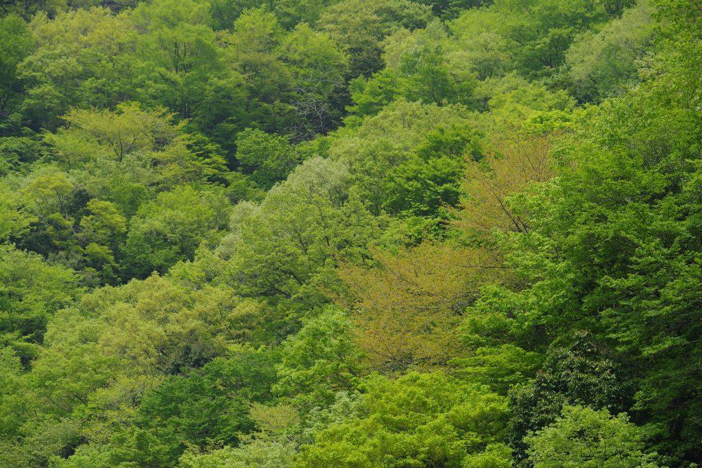 西丹沢の新緑