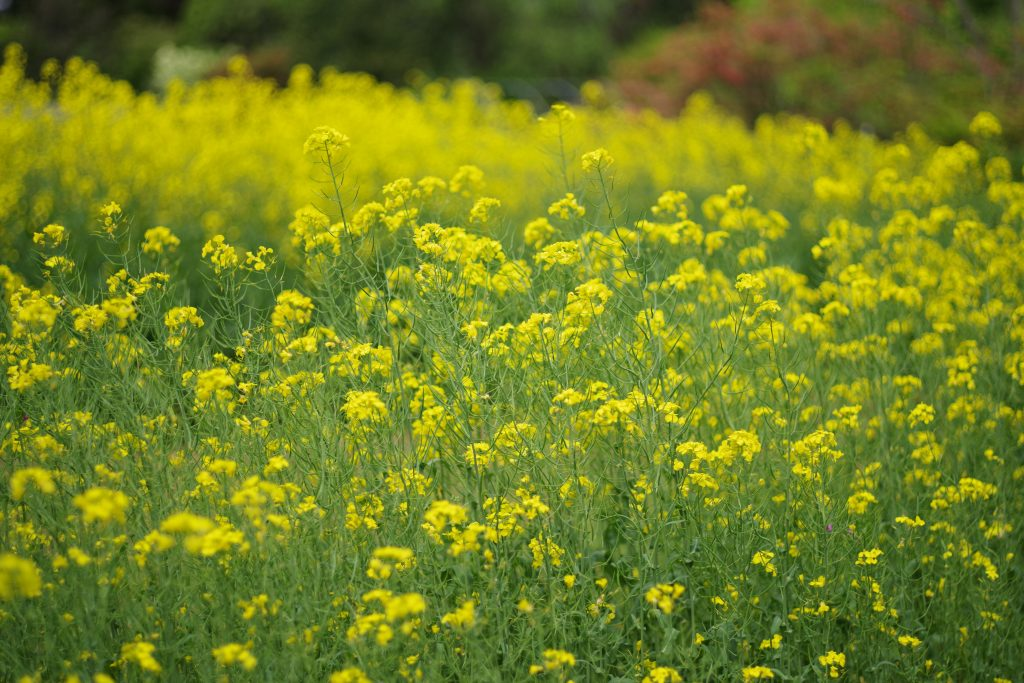 ユガテの菜の花