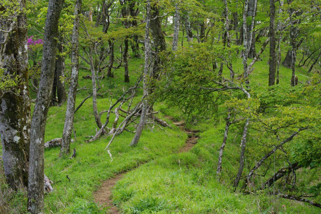 犬越路から大室山に続く尾根道