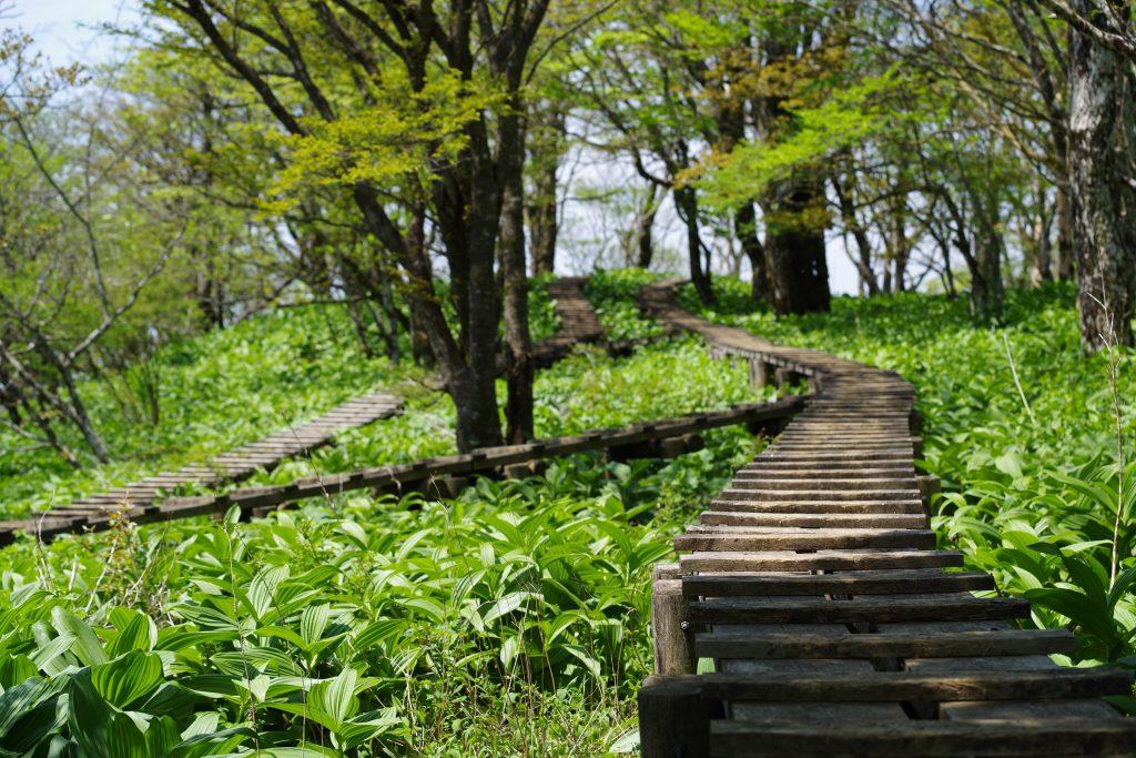 大室山の山頂付近の木道とバイケイソウ