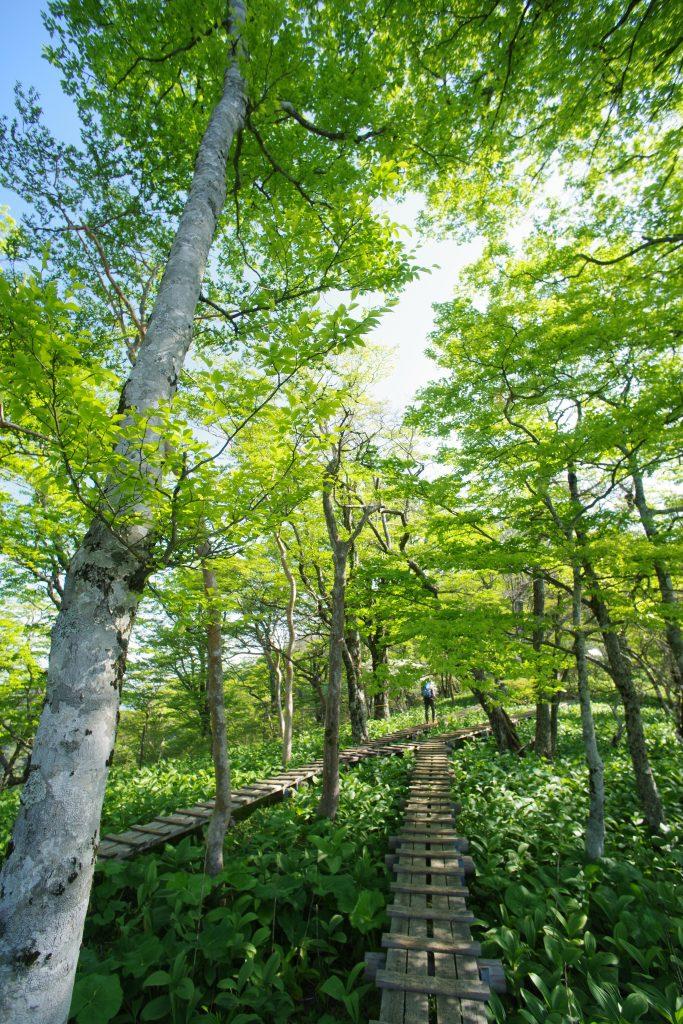 檜洞丸山頂付近のバイケイソウの森