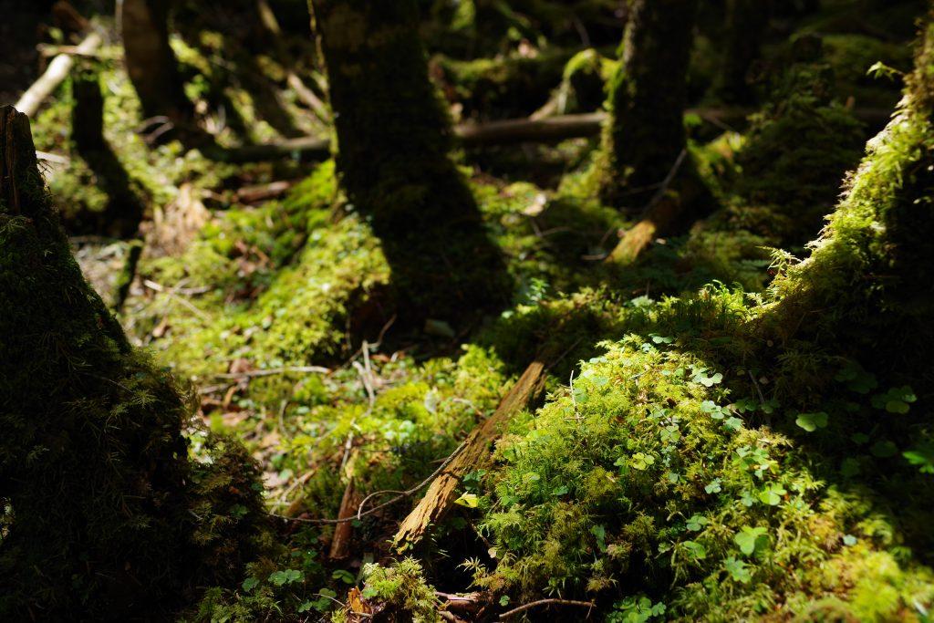 唐沢鉱泉までの樹林帯の苔